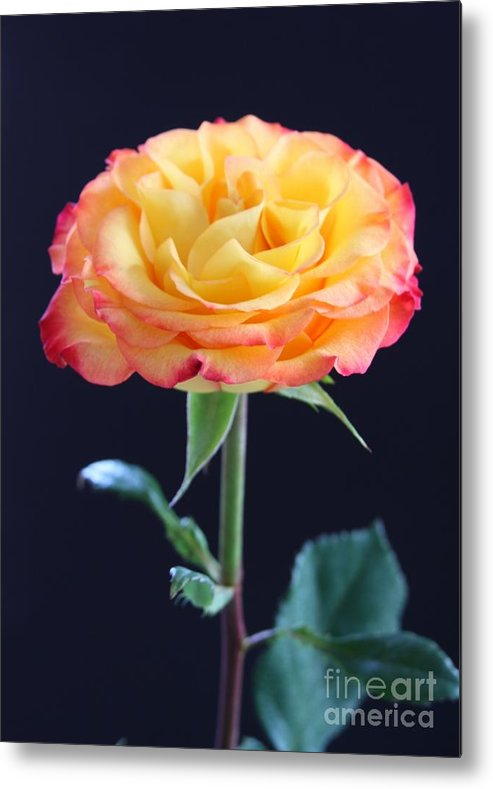 Rose Metal Print featuring the photograph Rose3 by Gayle Johnson