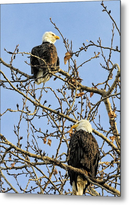 Bald Eagle Metal Print featuring the photograph Watchers by Lawrence Christopher