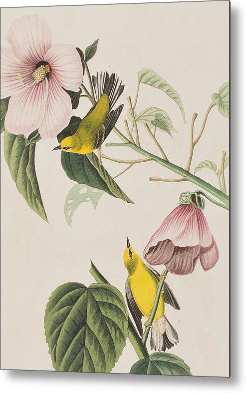 Blue-winged Yellow Warbler Metal Print featuring the painting Blue-winged Yellow Warbler by John James Audubon