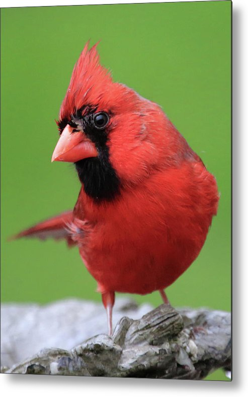 Hello Cardinal Metal Print featuring the photograph Hello Cardinal by PJQandFriends Photography