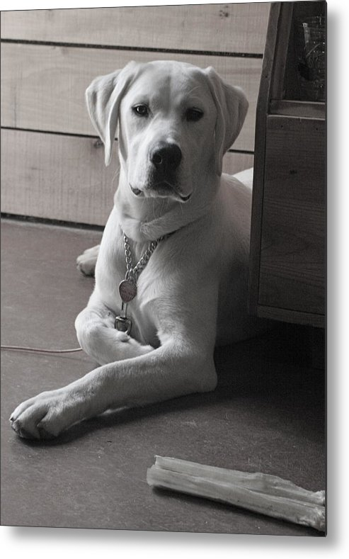 Lab Labrador Dog Puppy Retriever Metal Print featuring the photograph Mosey by Crystal Rolfe