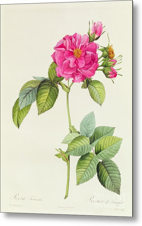 Rosa Metal Print featuring the drawing Rosa Turbinata by Pierre Joseph Redoute