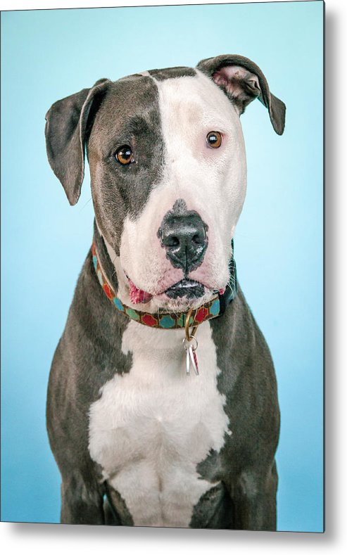 Dog Metal Print featuring the photograph Cara by Pit Bull Headshots by Headshots Melrose