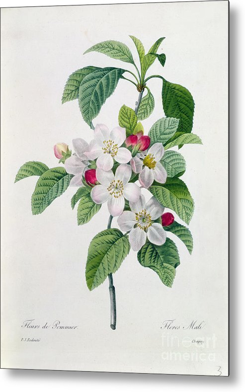 Apple Metal Print featuring the painting Apple Blossom by Pierre Joseph Redoute