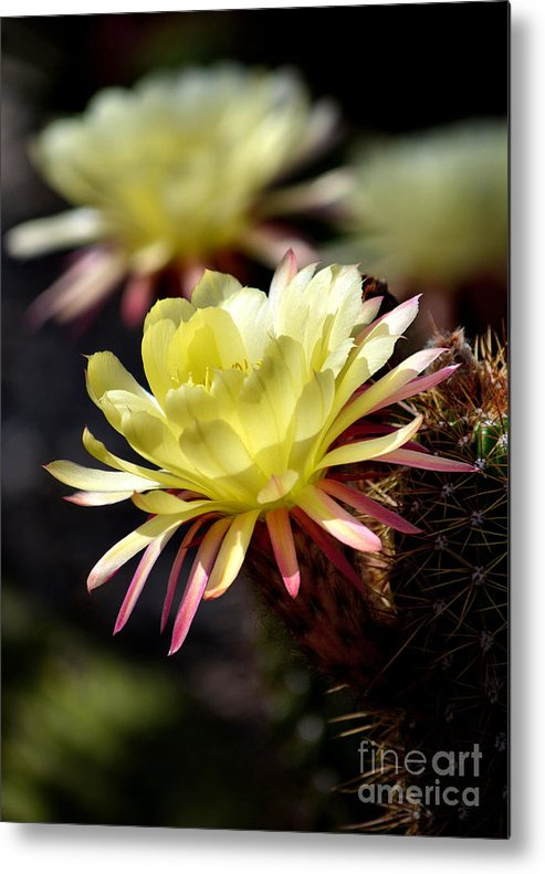 Yellow Cactus Flowers Metal Print featuring the photograph Beauty Among The Thorns by Deb Halloran