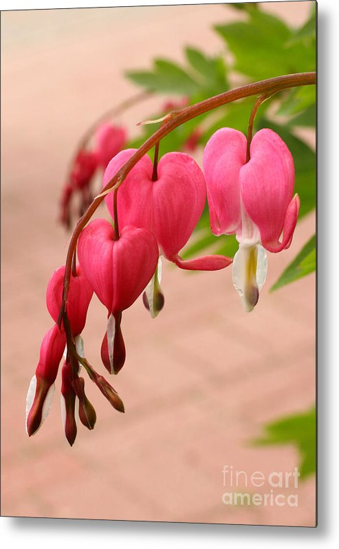 Flower Metal Print featuring the photograph Bleeding Hearts In The Park by Steve Augustin