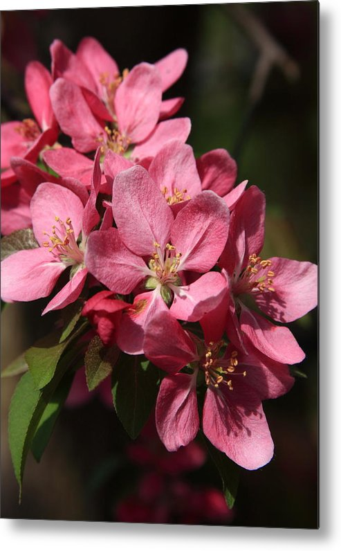 Tree Metal Print featuring the photograph Crab Apple Blossoms by Lyle Hatch