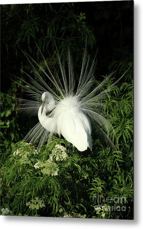 Bird Metal Print featuring the photograph Egret Fan Dancer by Sabrina L Ryan