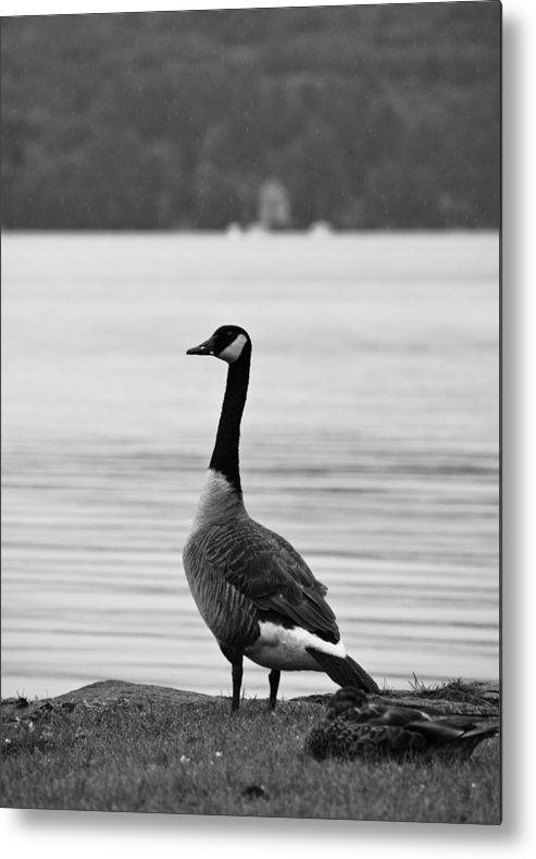 Goose Metal Print featuring the photograph Goose In The Rain by Edward Myers