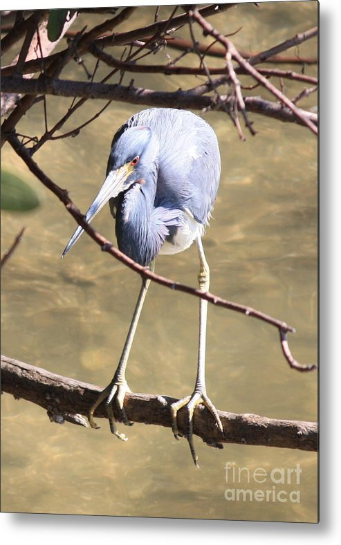 Tricolored Heron Metal Print featuring the photograph Heron On Branch by Carol Groenen