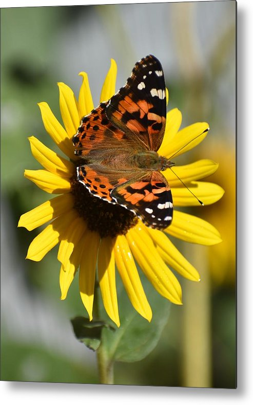 Butterfly Metal Print featuring the photograph I Love Your Nectar by Linda Burns