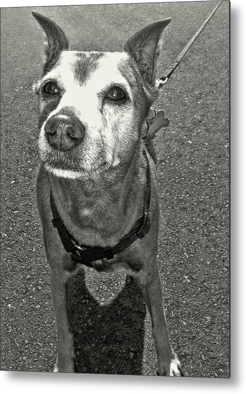 Dog Metal Print featuring the photograph Old Timer by JAMART Photography