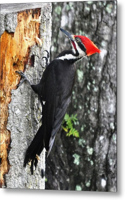Pileated Woodpecker Metal Print featuring the photograph Pileated Woodpecker by LaDora Sims