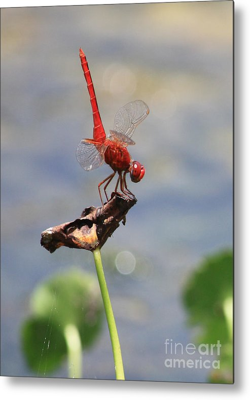 Dragonflies Metal Print featuring the photograph Pond Ballerina by Carol Groenen