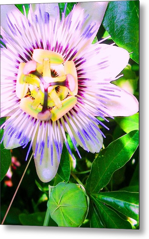 Flower Metal Print featuring the photograph Purple Passion by Diane Young