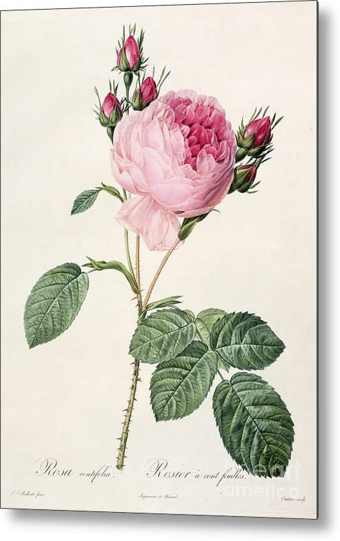 Rosa Metal Print featuring the drawing Rosa Centifolia by Pierre Joseph Redoute