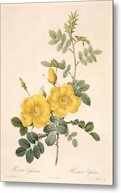 Rosa Metal Print featuring the drawing Rosa Eglanteria by Pierre Joseph Redoute