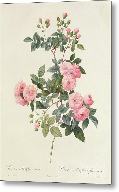 Rosa Metal Print featuring the drawing Rosa Multiflora Carnea by Pierre Joseph Redoute