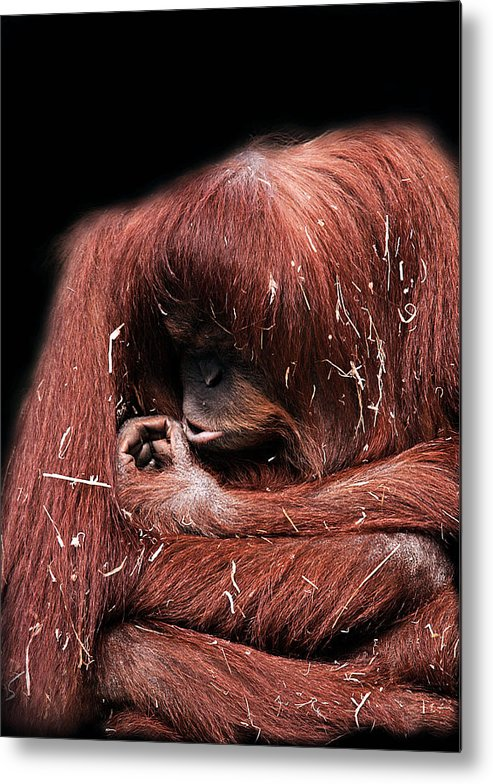 Orangutan Metal Print featuring the photograph Scrutiny by Lesley Smitheringale