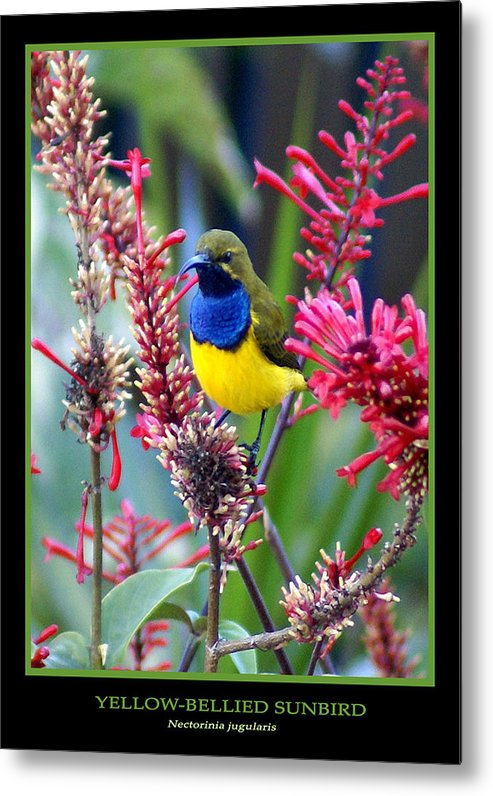 Animals Metal Print featuring the photograph Sunbird by Holly Kempe