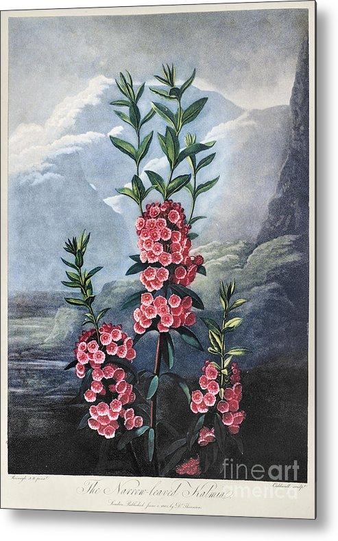 1804 Metal Print featuring the photograph Thornton: Kalmia by Granger