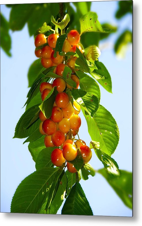 Black Metal Print featuring the photograph Yellow Cherries by Svetlana Sewell