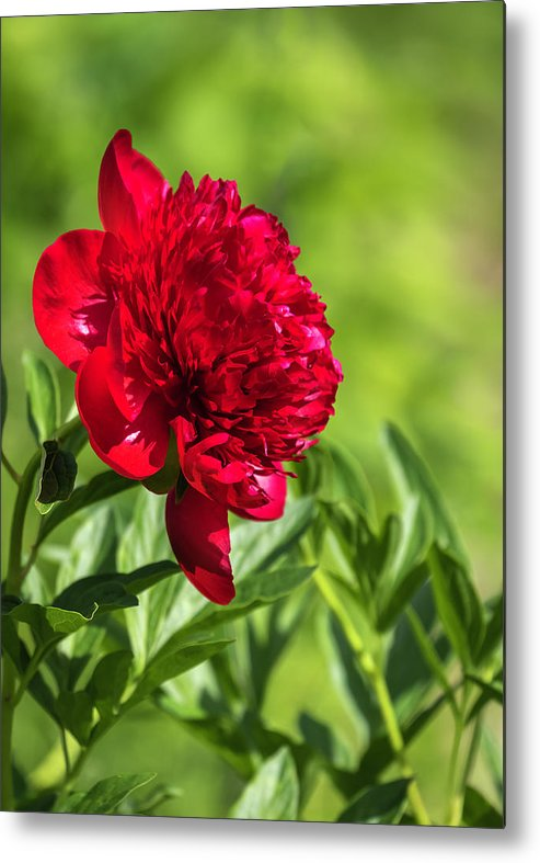 Peony Or Paeony Metal Print featuring the photograph Peony 2019-1 by Thomas Young