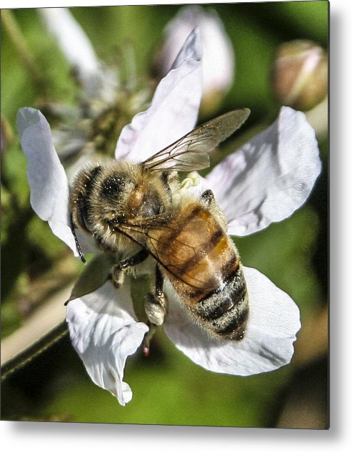Bee Metal Print featuring the photograph Bee by Steven Taylor