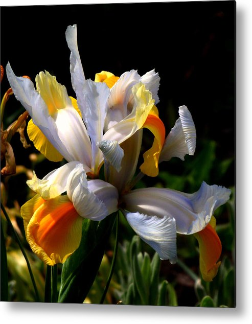 Iris Metal Print featuring the photograph Iris by Rona Black