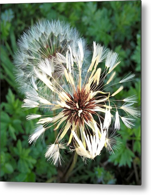 Dandelions Metal Print featuring the photograph Blown Wishes 2 by Zully Bartley