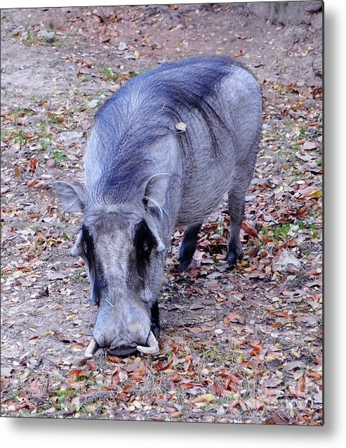wart Hog Metal Print featuring the photograph Harley The Warthog by DiDi Higginbotham