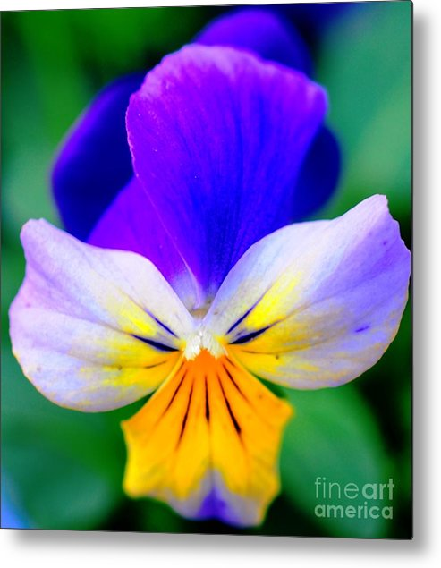 Pansy Metal Print featuring the photograph Pansy by Kathleen Struckle