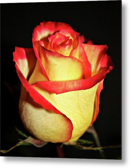 Roses Metal Print featuring the photograph Two Tone Rose by Cathie Tyler