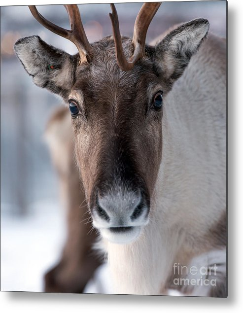 Deer Metal Print featuring the photograph Reindeer In Its Natural Environment In by V. Belov