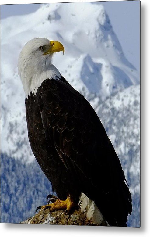 Bald Eagle With Snowcapped Mountain. Metal Print featuring the photograph Brackendale. by Will LaVigne