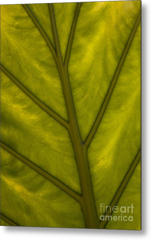 Elephant's Ear Metal Print featuring the photograph Elephant's Ear  #4754 by J L Woody Wooden