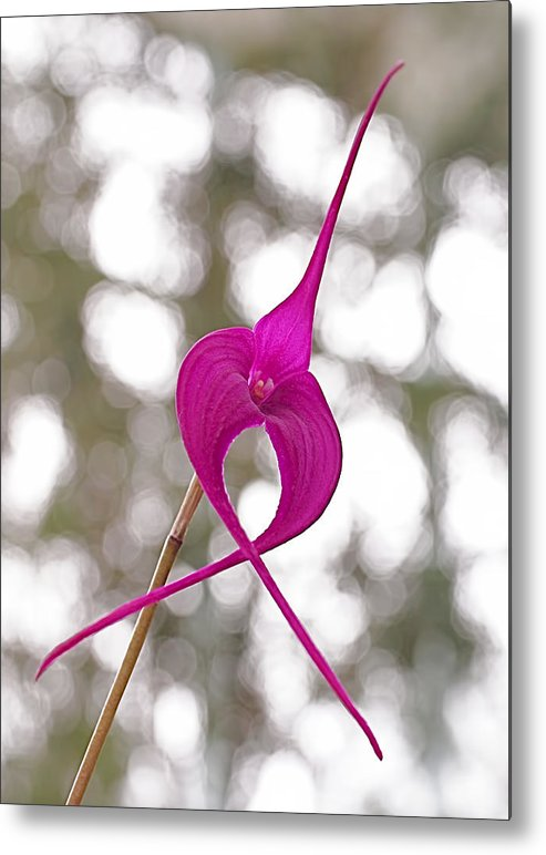 Orchid Metal Print featuring the photograph First Prize by Rona Black