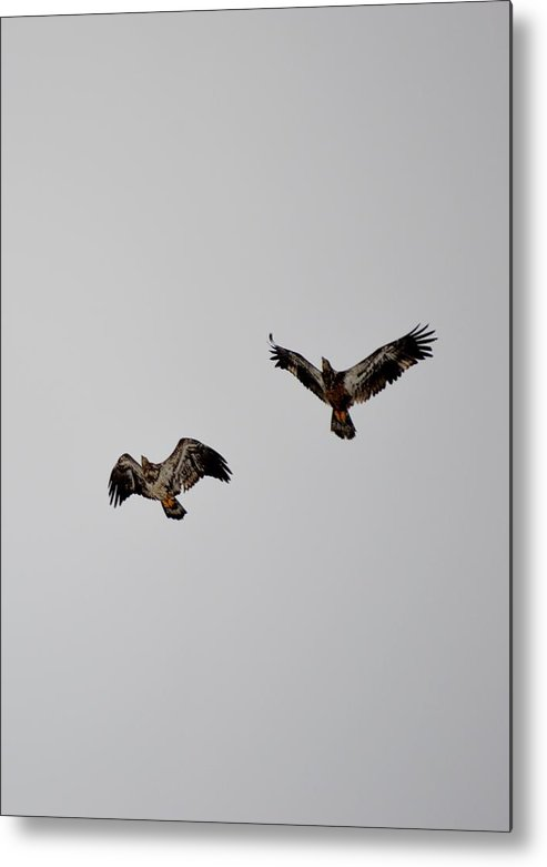 Red-tailed Hawk Metal Print featuring the photograph Hawk Joy by Thomas Phillips