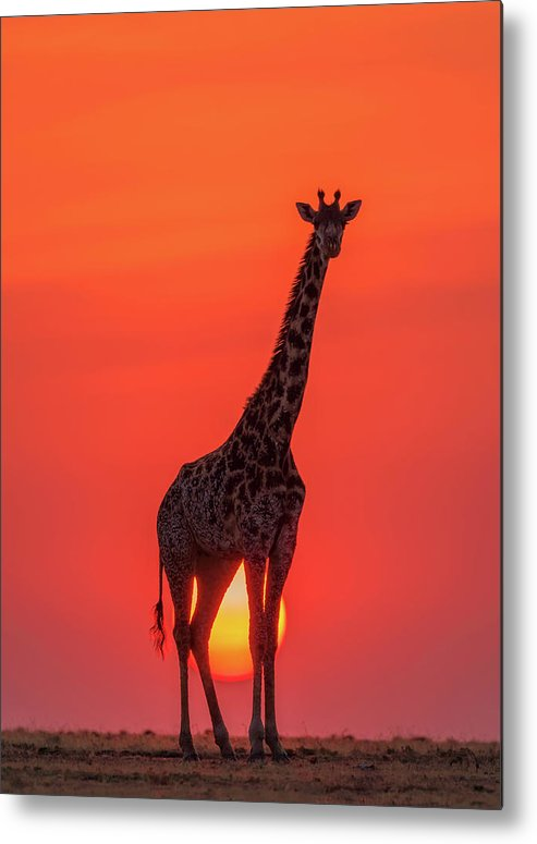 Sunset Metal Print featuring the photograph Sunset Giraffe by Henry Zhao