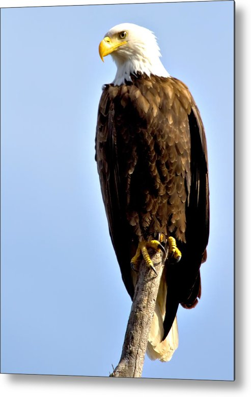 Eagle Metal Print featuring the photograph Balancing Act by Dave Clark