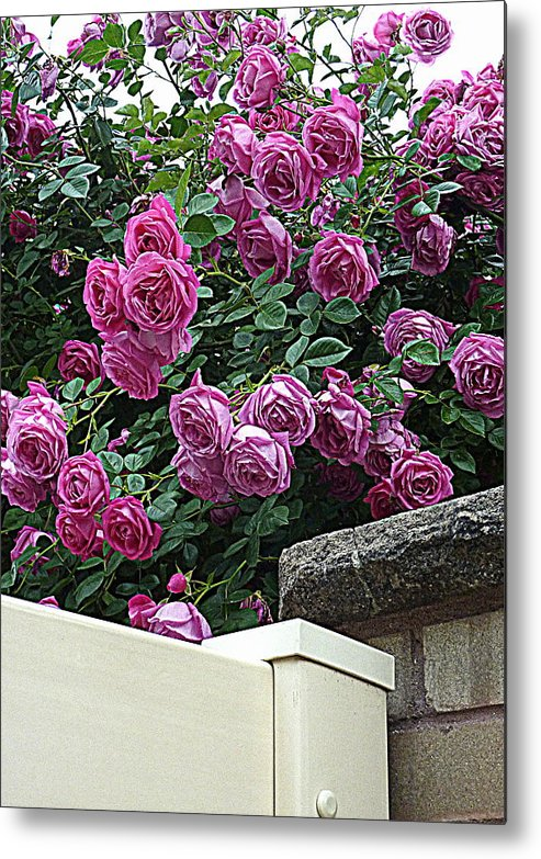 Garden Metal Print featuring the photograph Rosiage by Dan Stone