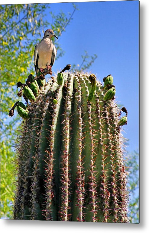 White Winged Dove Metal Print featuring the photograph A Spiky Home by Christine Till