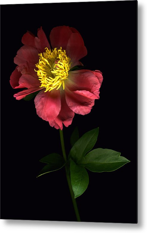 Scanography Metal Print featuring the photograph Dramatic Peony by Deborah J Humphries