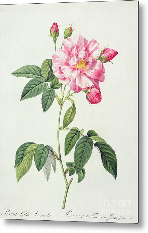 Rosa Metal Print featuring the drawing French Rose by Pierre Joseph Redoute