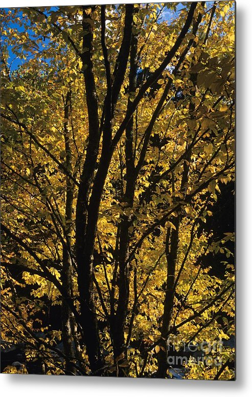 Autumn Metal Print featuring the photograph Golden Colors Of Autumn In New England by Erin Paul Donovan