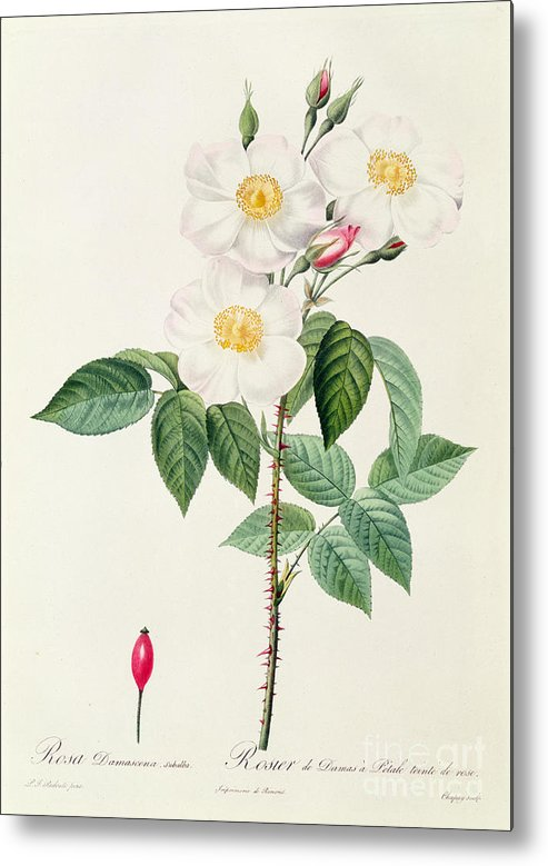 Rosa Metal Print featuring the drawing Rosa Damascena Subalba by Pierre Joseph Redoute