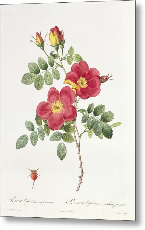 Rosa Metal Print featuring the drawing Rosa Eglantera Punicea by Pierre Joseph Redoute