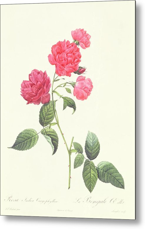Rosa Metal Print featuring the drawing Rosa Indica Caryophyllea by Pierre Joseph Redoute