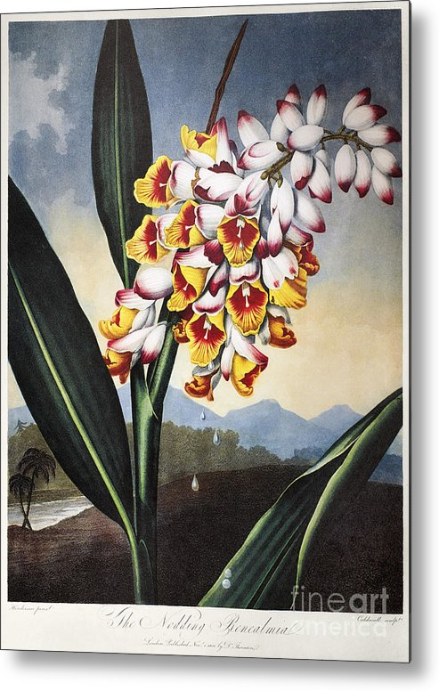 1801 Metal Print featuring the photograph Thornton: Shell Ginger by Granger