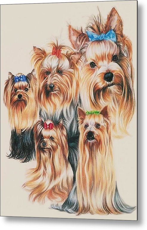 Purebred Metal Print featuring the drawing Yorkshire Terrier by Barbara Keith